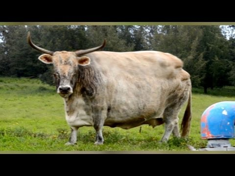 Disturbing Footage? Mad Cow Disease California April 24 2012 Possible Outbreak?
