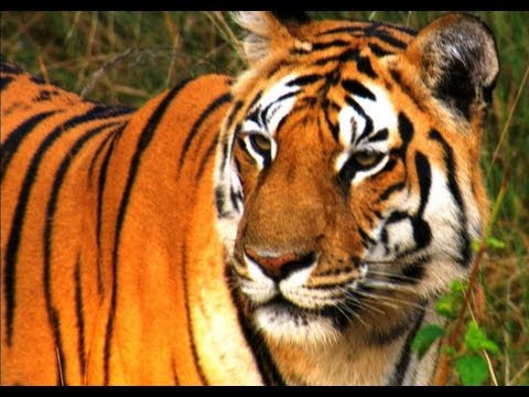 Hunting Lesson for the Tiger Cubs - David Attenborough - Tiger - Spy in the Jungle - BBC