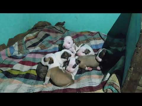 Dehradun dog Pitbull puppies for sale in pure quality By  Rohit Dog kennel  8650006680 in Dehradun