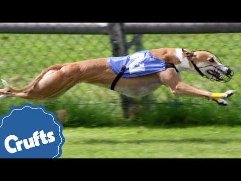 Greyhounds | Crufts Breed Information