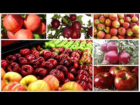 Вопрос: Когда появились привычные нам сорта яблок?