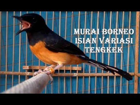Murai Batu Borneo Ekor Panjang Isian Variasi Tengkek JOSS