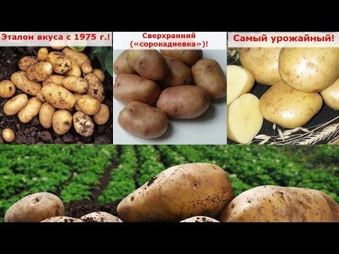 Самый ранний урожайный картофель