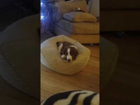 Welsh Springer Spaniel pup  'Reef'- 9.5wks- 02/01/17- Barks at pig ear