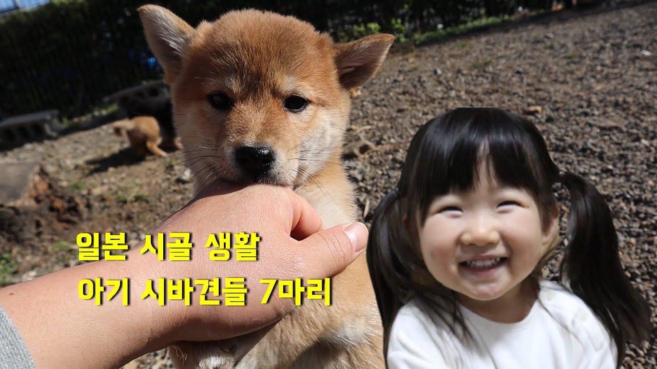 사나 가족 일본 시골 생활 ♪ 시바견 촬영 시작!! 귀여워서 큰일이네요!!