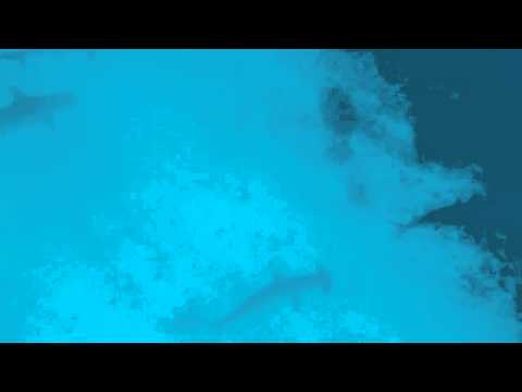 Scalloped Hammerheads.mov