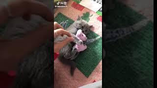 ぬいぐるみを離さない子猫「こういうタイプの顔が好きニャ!」(動画)