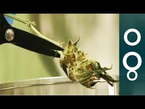 Bringing Down The Cost Of Getting High On Medical Marijuana - Futuris