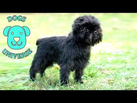 AFFENPINSCHER ► Characteristics and temperament 🐶