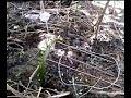 Terbukti !!! Cara Mudah Membuat Perangkap Jerat Burung Biawak Ayam Hutan (video 2) video