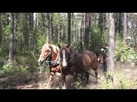 Horse Logging in Montana