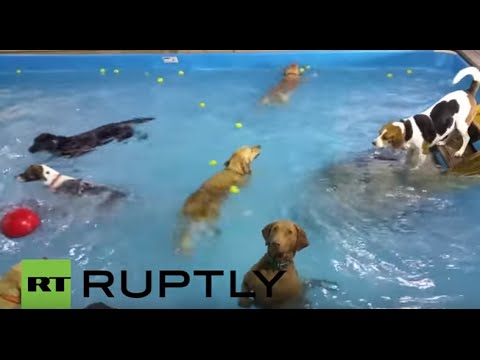USA: Is this puppy too cool for pool? - Pup stands alone at dog daycare centre