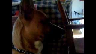 My Dog Trigger Back In 2008 Boxer/german Shepherd Mix