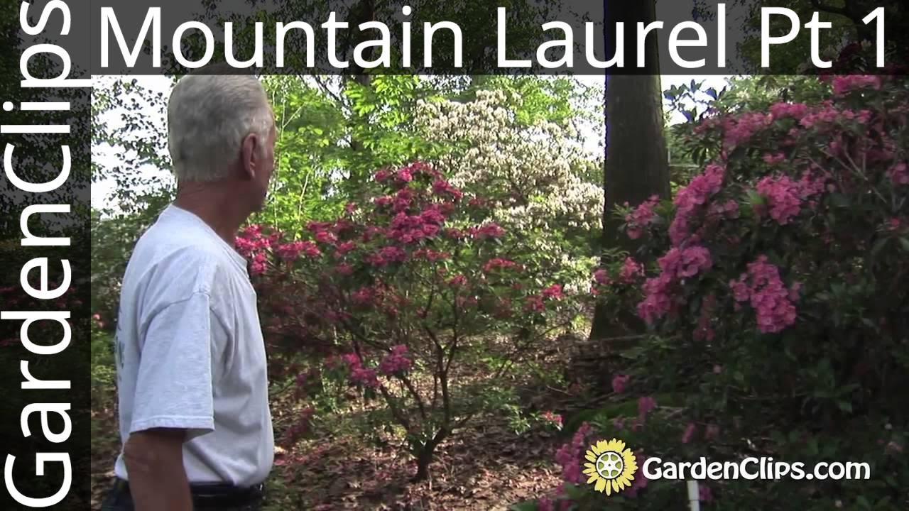 Mountain Laurel Kalmia Latifolia With Dick Jaynes Part 1 Of