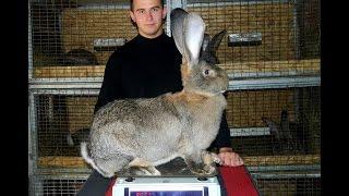 Кролики разведение видео (Крольчиха породы Бельгийский великан