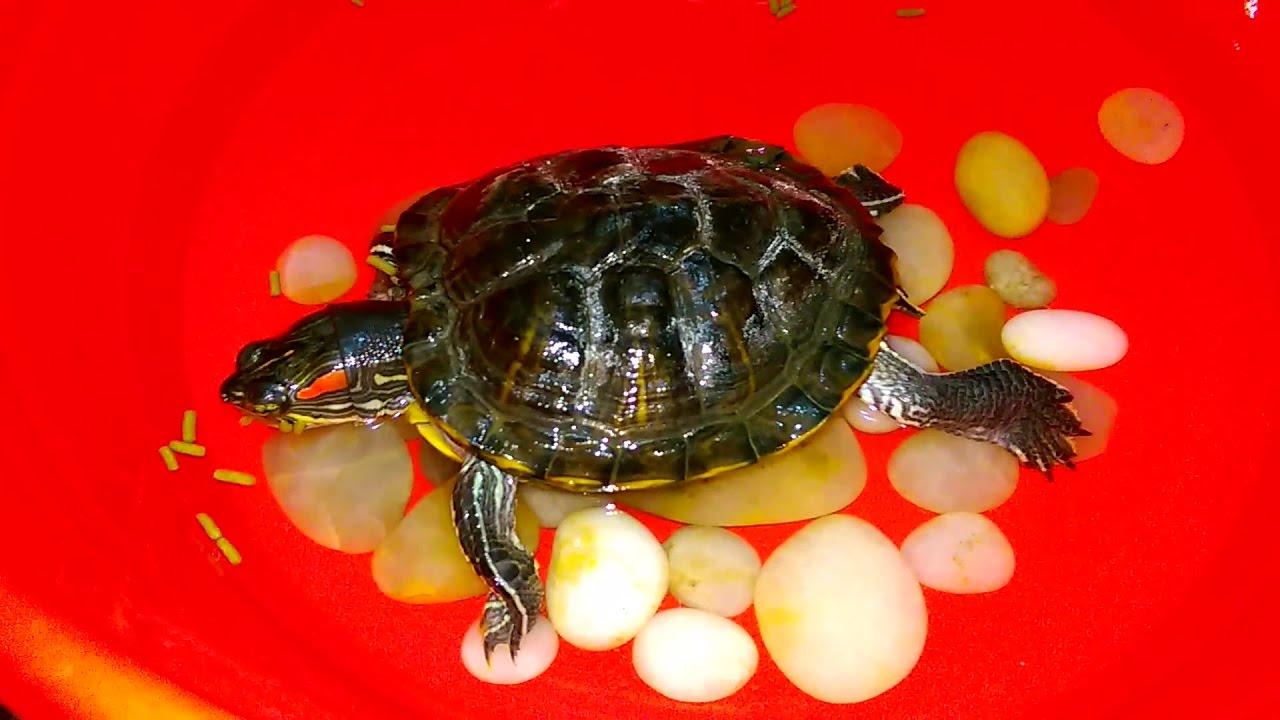 Evde Kaplumbağa Besliyoruz Adı Pamuk Evde Kaplumbağa Beslemek