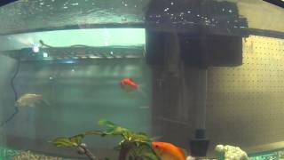 Video for your cats. My goldfish and koi pond fish inside for the winter