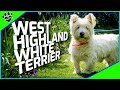 Dogs 101: West Highland White Terrier Westie - Animal Facts の動画、YouTube動画。