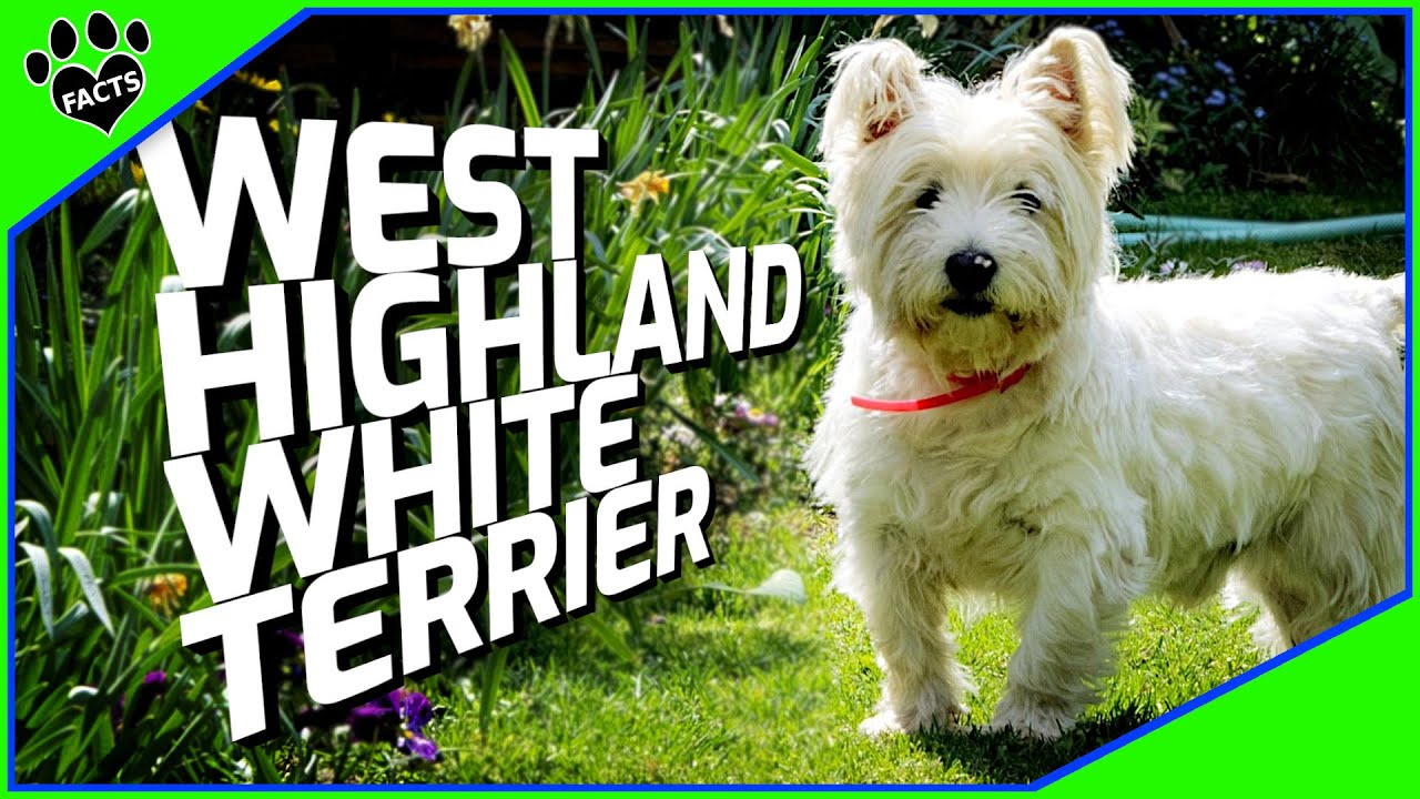 West Highland White Terrier Dogs 101 Westie Facts