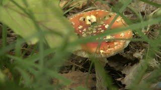 Специалисты снова призывают соблюдать максимальную осторожность при сборе и употреблении грибов.