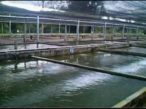 Aquarium fish breeding pond youtube for Breeding pond fish