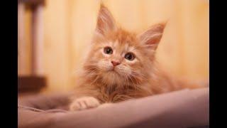 🔴 (LIVE) Котята Мейн-кун(Maine coon)