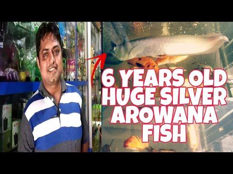Silver Arowana Fish | Huge 6 Years Old Silver Arowana Fish At Blue Waves Aquarium And Pets Shop