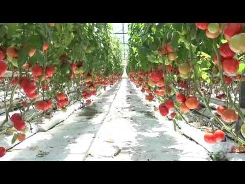 Открит ден домати - Първомай