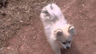 """For Sale: Ckc Pomeranian Pup Temp Name """"socks"""" 770.886.2401"""