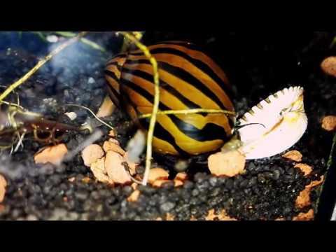 Самые красивые аквариумные улитки
