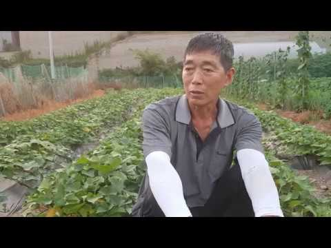 고구마농사 붕소결핍중요성 재배방법 보관방