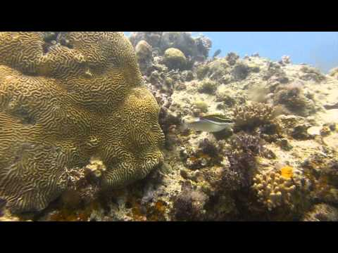 Video Bridled Monocle Bream | Pata Negra Dive Center