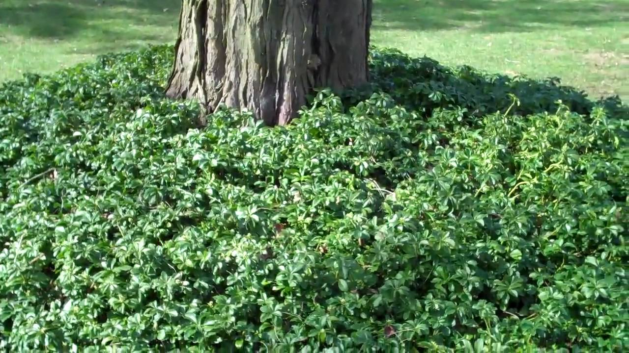 Covering tree roots with groundcover YouTube