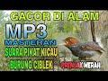 Suara Pikat Pemanggil Burung Prenjak Merah Ciblek Pikat Burung Prenjak Liar  Mp3 - Mp4 Download