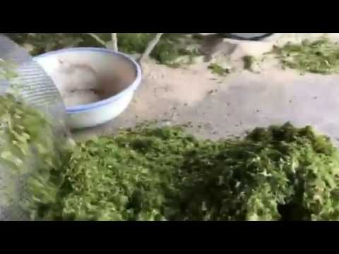 GREEN SEAWEED KELP algae SELLER EXPORTER FACTORY MACHINE Vie