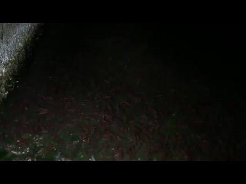 ホタルイカ掬い 富山県岩瀬漁港西側スロープでの身投げの様子