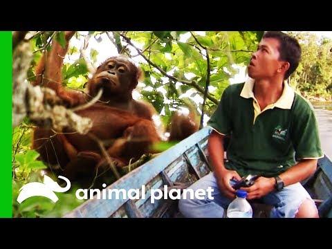 Search Party Tries To Locate Missing Orangutan | Orangutan Island