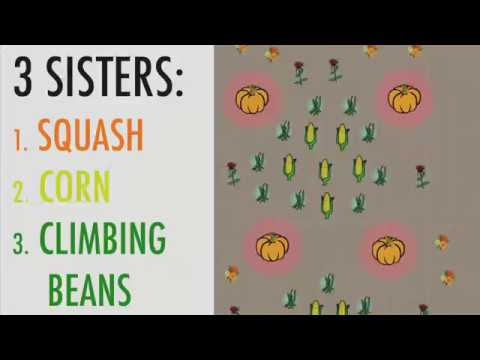 The Three Sisters Corn Beans And Squash The Old Farmer S Almanac