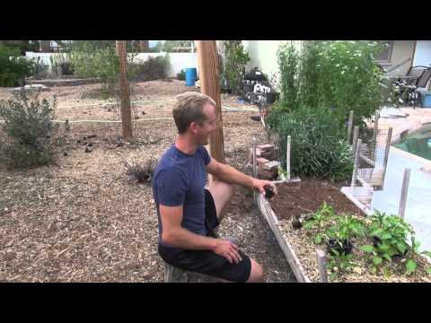 Amazing Garden - Planting SWEET PEPPERS in Phoenix, Arizona!