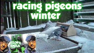 gołębie pocztowe - woliera zimą 2013(racing pigeons winter 2013)