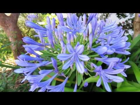 TCHAIKOVSKY /  Flowers Waltz - Valsa das Flores - AGAPANTHUS