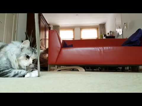 Maine Coon ATTACK in Slowmotion