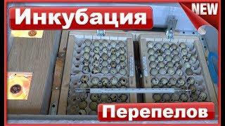 видео Инкубация перепелиных яиц в домашних условиях