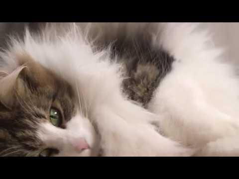 Le Chat Des Forêts Norvégiennes | ROYAL CANIN®