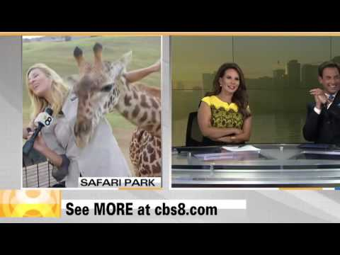 KFMB CBS News 8 - The Giraffe Incident