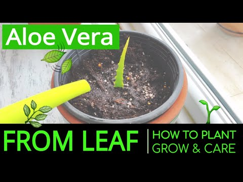 How to Plant & Grow Aloe Vera at Home from Leaf? Planting & Caring Aloe Vera in a Pot