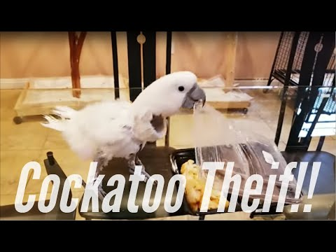 Jersey The Cockatoo Opens My Food Delivery | PARROT VIDEO OF THE DAY