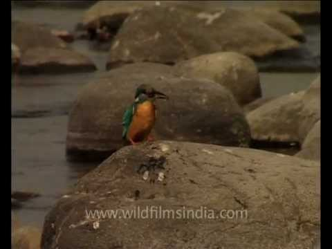 Common Kingfisher Gobbles Up Fish