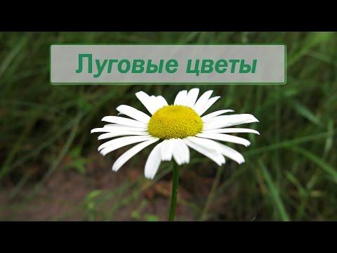 Луговые цветы фото