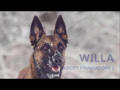 Willa -  malinois agility foundations (part 2)